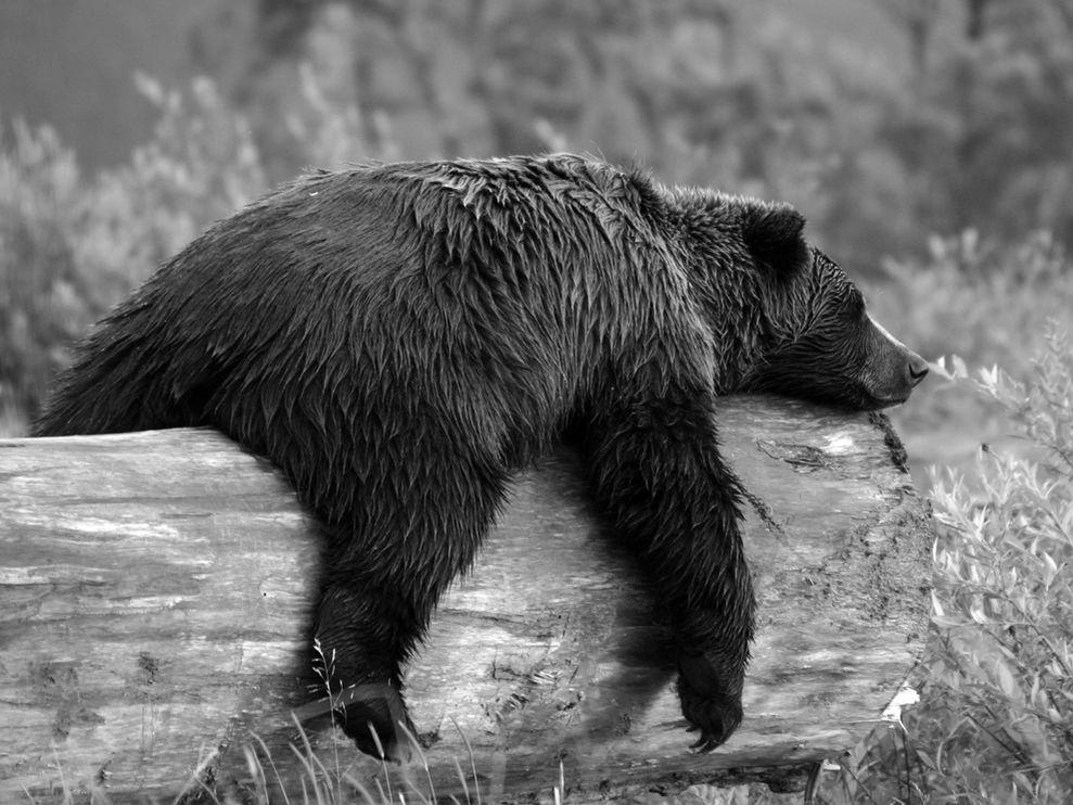 sleepy-grizzly-bear